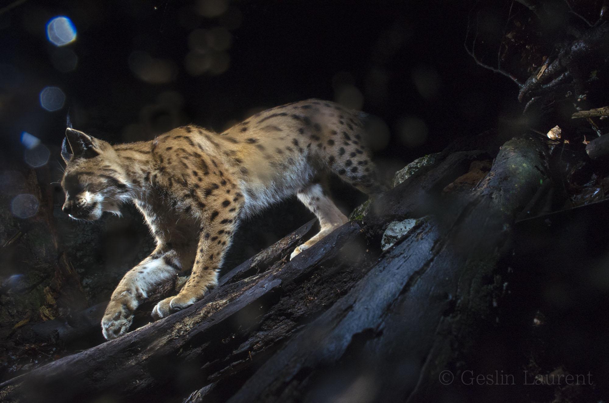 Cougar and prey i - 5 2