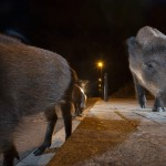 Wild boar in the streets of Barcelona, Spain...