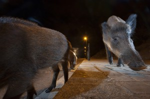 Wild boar in the streets of Barcelona, Spain...