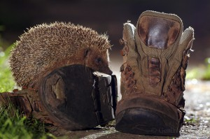 Hedgehog in a garden, London, UK...