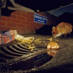 Urban fox feeding on junk food, London, UK...