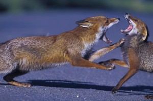 Urban foxes fight, London, UK...