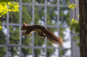 Red squirrel jumping in an urban park, Grenoble, France.
