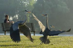 Grey heron fight in an urban park, London, UK...