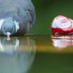 Wood pigeon drinking, Paris, France...
