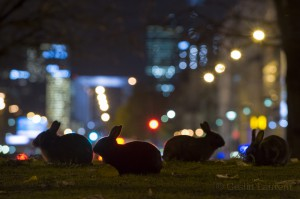 Rabbits, centre of Paris, France...