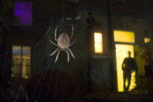 Garden spider, London, UK...