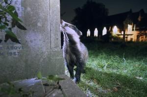 Badger, London, UK...