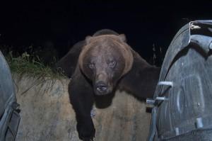 Brown bear, Brasov, Romania...