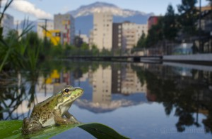 Edible frog in an urban pond, Grenoble, France...