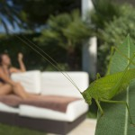 Great geen bush cricket, France...