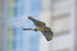 Common kestrel, Paris, France...