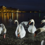 Mute swan, Geneva, Switzerland...