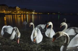 Mute swan, Geneva, Switzerland...