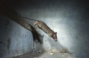 Black rat, Deshnoke, India...