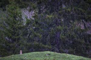 Wild european lynx (Lynx lynx) in the Simmental Valley, Switzerland...