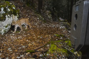 Male lynx known as B152 being photographed while a campaign of monitoring.
