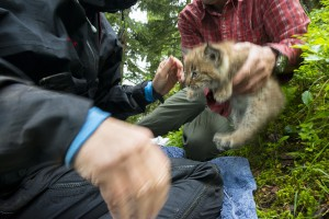 Three weeks old kitten being tagged by the KORA team in the Alps.