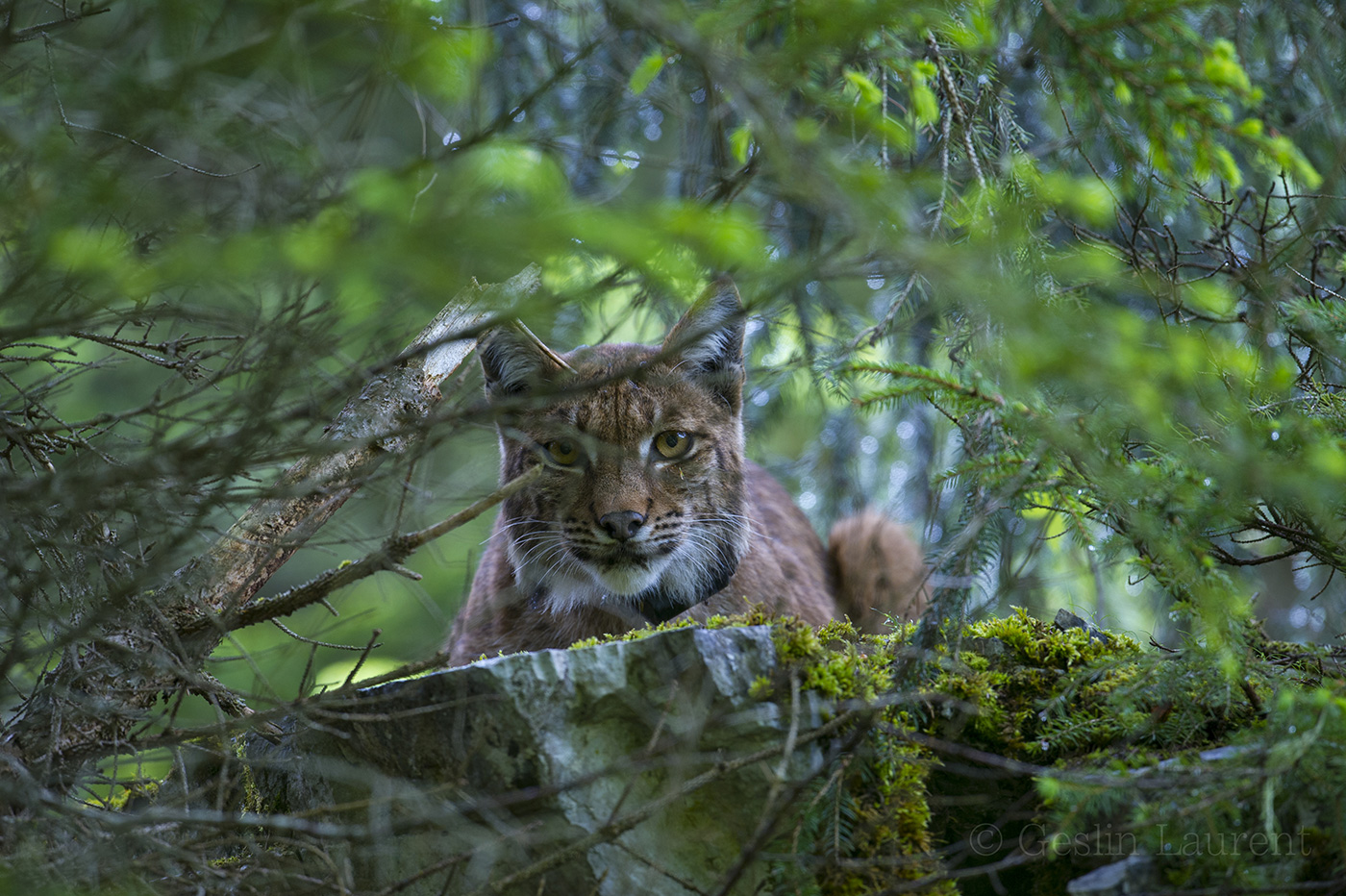 Wild European Lynx | Laurent Geslin