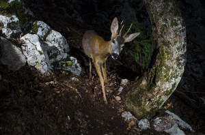 Roe deer (Capreolus capreolus) passing by a camera trap in the Jura mountains.