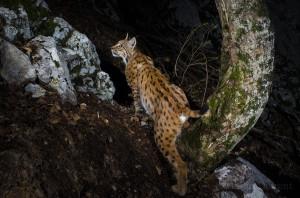 Wild european male lynx (Lynx lynx) B263 passing by the same trail...