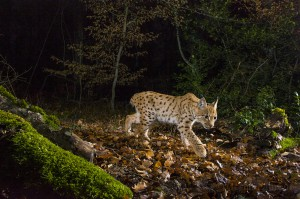 Wild female lynx (Lynx lynx) known as B218 walking in the forest in the Jura mountain at night..