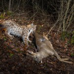 Wild european lynx B214 (Lynx lynx) pulling its roe deer prey (Capreolus capreolus) in the Jura Mountains, Switzerland.