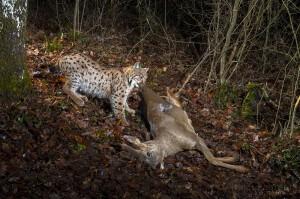 Wild european lynx B214 (Lynx lynx) pulling its roe deer prey (Capreolus capreolus) in the Jura Mountains, Switzerland.