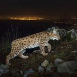 Wild european lynx (Lynx lynx) female known as B218, being photographed on camera trap with city lights in the background.