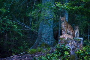 Very rare scene of a wild female european lynx (Lynx lynx) known as B123, with her two kittens, Jura mountains in Switzerland.