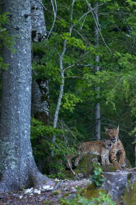Very rare scene of a wild female european lynx (Lynx lynx) known as B123, with one of her two kittens, Jura mountains in Switzerland.