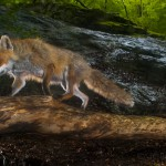 Fox (vulpes vulpes) being photographed by a camera trap.