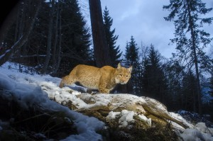 Wild european lynx (Lynx lynx), called Lary, coming back to a dead roe deer (Capreolus capreolus) it previously killed 2 days earlier in the Simmental valley, Switzerland.