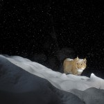 Wild european lynx (Lynx lynx), called Lary, walking in deep snow in the Simmental valley, Switzerland.