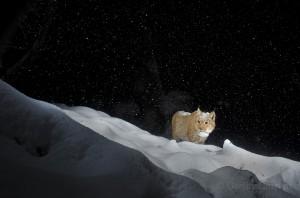 Wild european lynx (Lynx lynx), called Lary, walking in deep snow in the Simmental valley, Switzerland.
