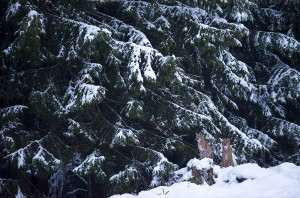 Wild female lynx (Lynx lynx) U297, with her 8 months old kitten B339, on the edge of a forest in the Swiss Alps.