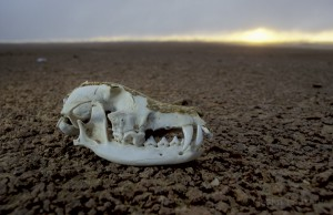 Skull of black backed jackal (Canis mesomelas) in the skeleton cost, Namibia.