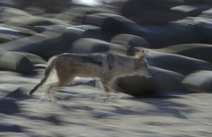 Black backed jackal (Canis mesomelas) are opportunists and will grab any seals pups that is away from her mother.