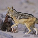 When a seal pup is killed, the Black backed jackal (Canis mesomelas) takes it away from the colony to eat it.