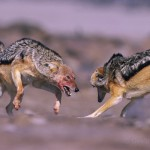 As social pack dogs, the Black backed jackals (Canis mesomelas) have a strict hierarchy and the strongest show their dominance if a wicker individual trespass the rules...