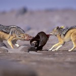 Black backed jackal (Canis mesomelas) often fight during the feast and the dominants are always the firsts to be served.