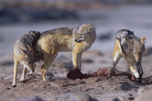 During the feast, the Black backed jackal (Canis mesomelas) adopt submissive posture to avoid conflicts...