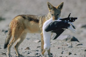 Black backed jackal (Canis mesomelas) having caught a cape gull (Larus dominicanus), skeleton cost...