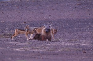 The discret brown hyena (Hyaena brunnea) being harassed by three Black backed jackal (Canis mesomelas) near Cape Cross Reserve, Namibia.