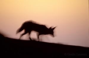 Black backed jackal (Canis mesomelas) walking at dusk on the Skeleton cost.