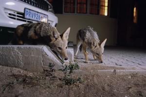 Black backed jackal (Canis mesomelas) in an urban area, Windhoek, Namibia.