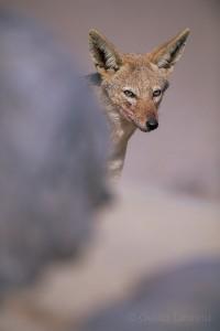 Portrait of a Black backed jackal,