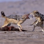Black-Backed-Jackal_Laurent-Geslin_17