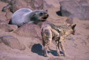 Wicker or sick jackals are roaming the beach of Cape Cross to try to find some scraps. Here, a mangy individual is trying is luck with a healthy female fur seal.