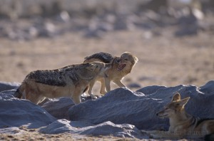 Jackals fighting,